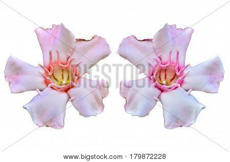 Close up Allamanda flower isolate on white background