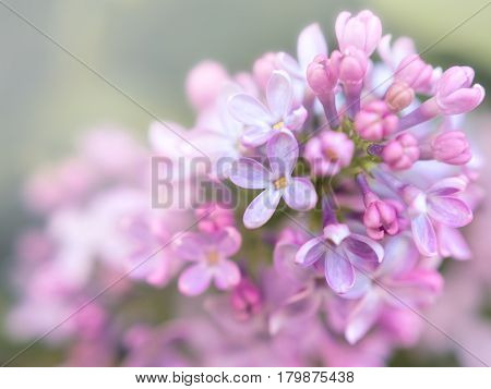 spring fresh lilac flowers with blurred backgroud