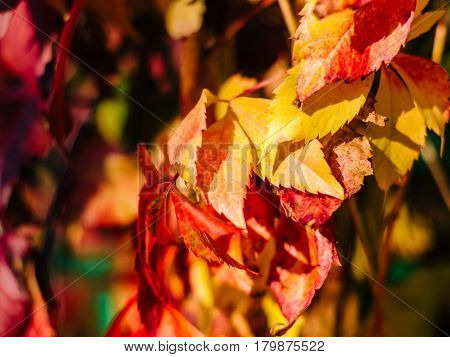 red and yellow autumn leaves with blurred background