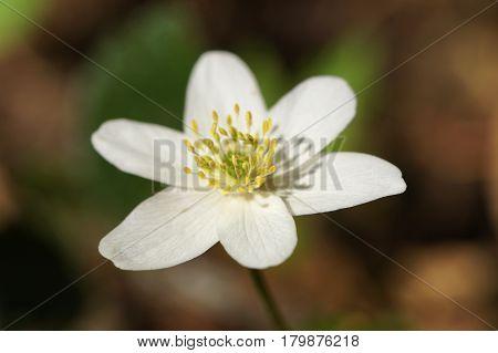 White European Wood aneomone (anemone nemorosa) or windflower