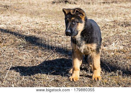 German shepherd puppy - adorable german shepherd puppy with floppy ears