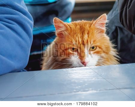 Hungry ginger cat sits at a table with people.