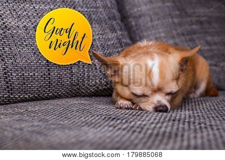 Chihuahua puppy sleep. Good night speech bubble. Adorable dog lying on sofa. Cute looking purebred pet.