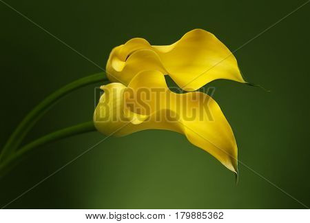Two Yellow Calla Lily Flowers shot in studio on a green background