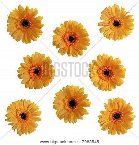Yellow Gerbera Flowers