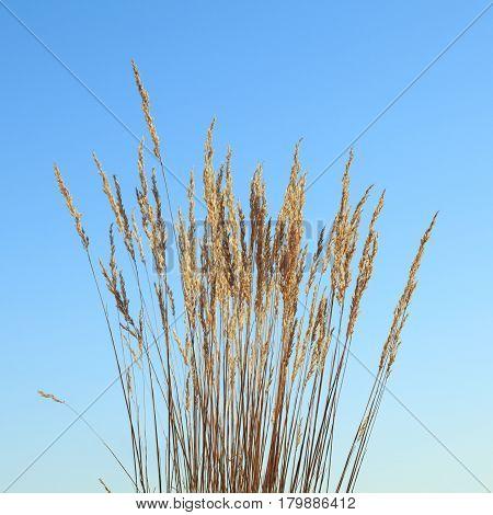 Grass Tassels