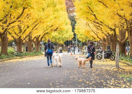 TOKYOJAPAN- NOV 22 :Tourists at Meiji Jingu Gaien in Tokyo Japan on November 22 2016.Meiji Jingu Gaien that has beautiful Ginkgo along the lenght of the street famous for autumn spot in TokyoJapan