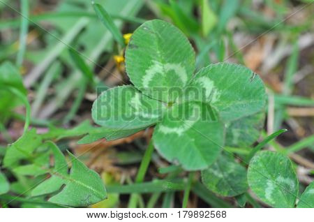Four-leaf clover grows in nature. Lucky finding.