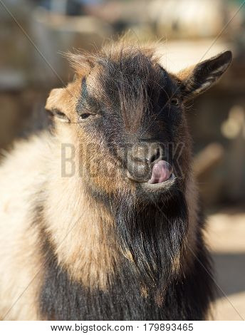 Humorous photo of brown goat close up. Goat portrait. Funny goat in nice background. Village.Domestic animal