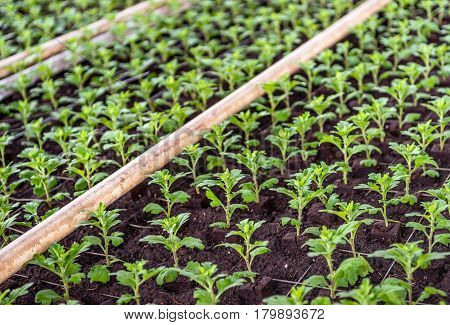 Closeup of recently planted small chrysanthemum cuttings in the greenhouse of a specialized Dutch chrysanthemum cut flower nursery.
