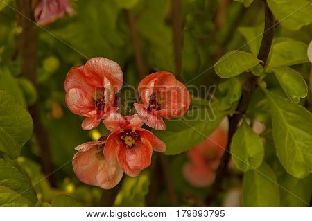 Japanese quince or Chaenomeles speciosa branch - blossoming in springtime,