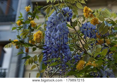 Branch  with bunch purple bloom and leaf of wisteria tree and  yellow Kerria japonica at springtime in garden.