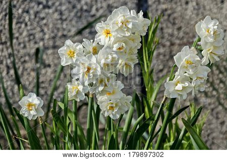 Bright white daffodils or narcissus in bloom.
