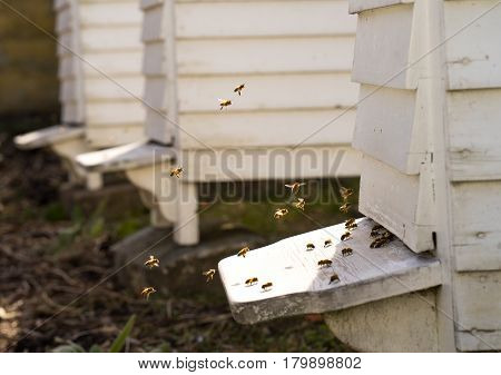 White Hives with a lively traffic of bees buzzing fly in and out of the hive in their hunt for food Pollen