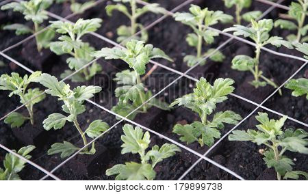Closeup of recently planted small chrysanthemum cuttings with mesh support in the glasshouse of a specialized Dutch chrysanthemum cut flower nursery.