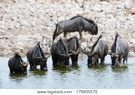 Some Wildebeest drinking at a waterhole in Namibia