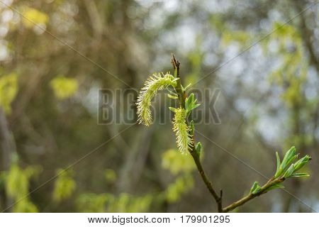 Pussy Willow in spring. Blooming Pussy Willows. Willow catkins. Nature in Spring
