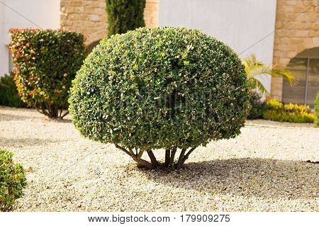 park planting of green shrubs shorn by a round shape.