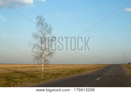Lonely birch by the road in the evening.