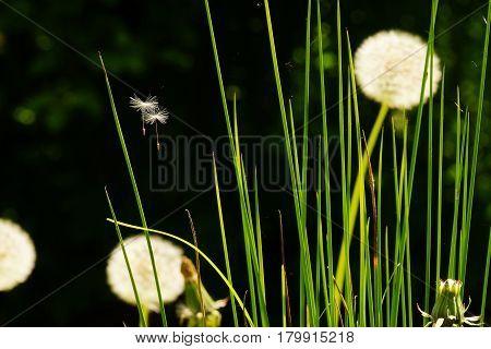 Close-up of a dandelion in a botanical garden