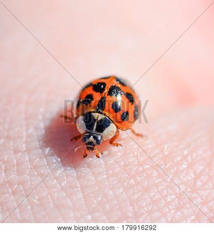 Ladybird beetle on the background of human hand. Ladybug close up.  Macro photo of insect ladybug.