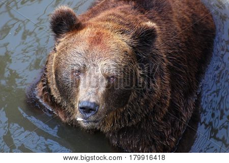 Old brown bear Portrait, furious bear, Grizzly Bear