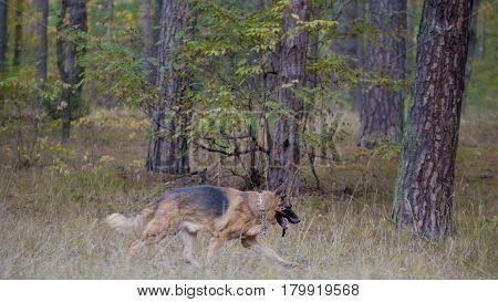 German shepherd dog running in autumn forest, telephoto
