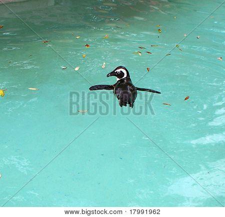 Swimming African Penguin