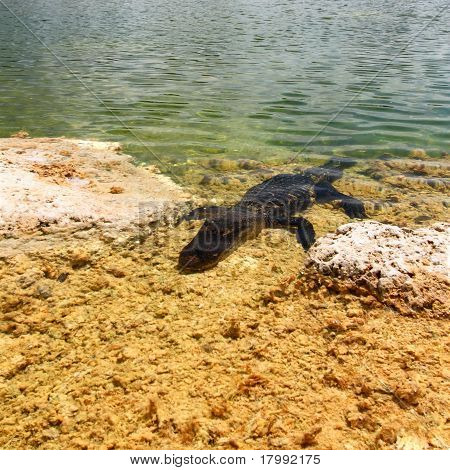 An American alligator in a clear pond. poster