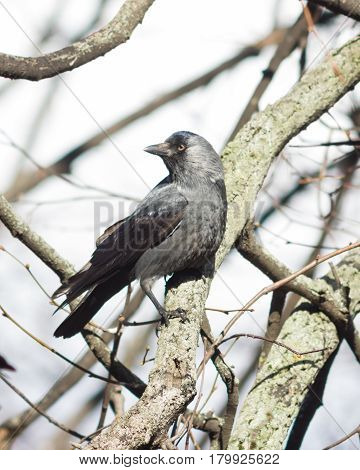 Jackdaw bird Corvus monedula on tree branch selective focus shallow DOF.