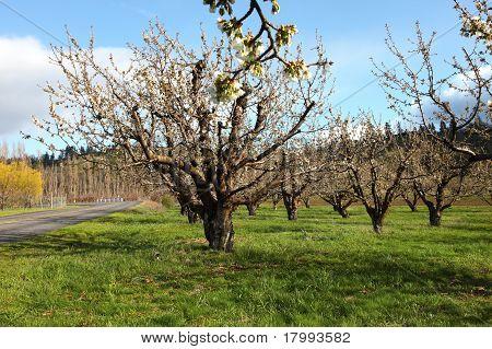Cherry farm orchard near Hood River OR.