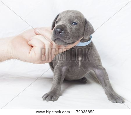 Purebred blue Great Dane with a hand for perspective on white