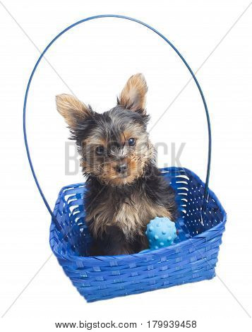 Yorkshire terrier in a blue basket with a white background