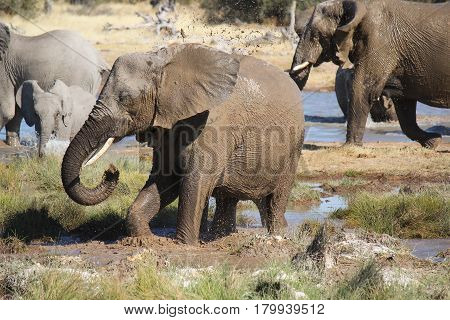 Group of elephants playing with mud and water in a waterhole. Etosha National Park