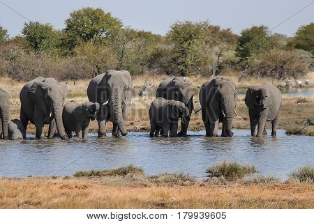 Family of Elephants drinking water in a waterhole. Etosha National Park - Namibia