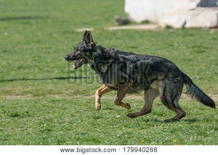 German Shepherd Running Through the Grass. Selective focus on the dog