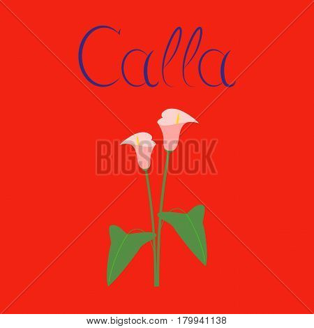 flat illustration on stylish background flower calla