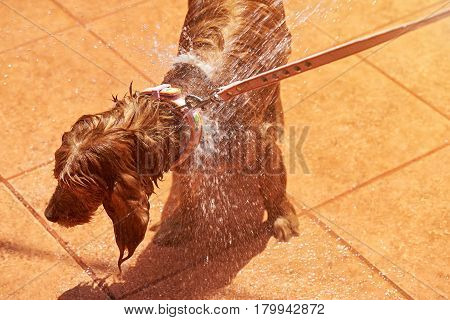 Brown Spaniel Taking Shower