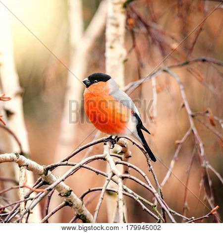 Bullfinch on the tree branch at spring day time.