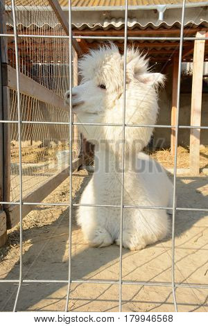White and fluffy alpaca in a cage closeup. Proud and beautiful animal