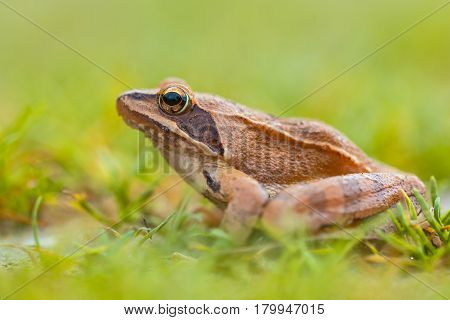 Side View Of Agile Frog (rana Dalmatina) In Grass