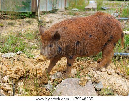 Wild feral pig on stoney farm yard