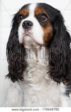 Young Puppy Cavalier King Charles Tricolor Sitting