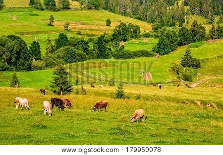 few cows grazing on hillside meadow. haystacks behind the fence on rural fields near the forest. beautiful countryside summer landscape