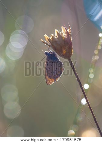 Common Blue Butterfly Silhouette
