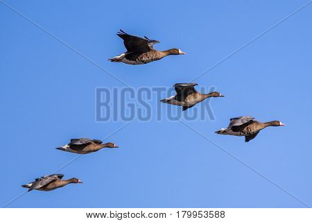 Migratory Geese setting in for Landing against blue sky