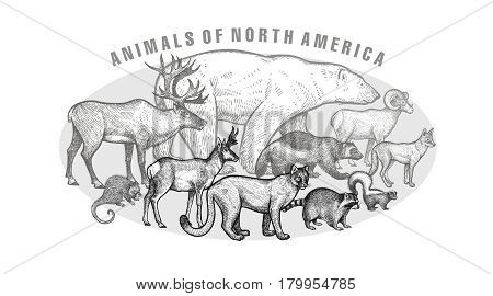 Poster with image of animals North America. Hand drawing polar bear reindeer wolverine steppe ram coyote skunk antelope porcupine raccoon puma.Vintage engraving style. Vector illustration art