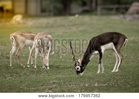 A male blackbuck with twisted horns standing and eating on green grass.