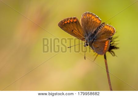 Brown Argus Butterfly (aricia Agestis) On Flower With Green Background