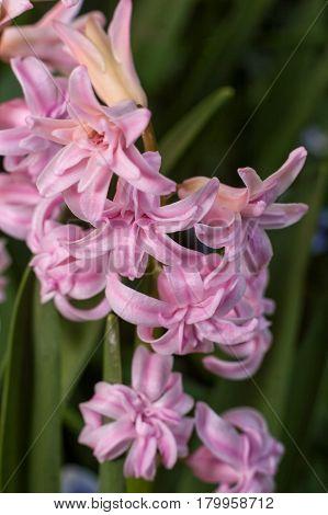 Blooming Pink Hyacinth Close Up Selective Focus